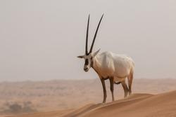 Arabian Oryx - Antelope in Dubai Desert