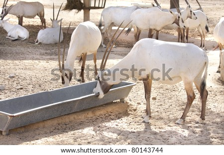 Arabian Oryx biting a long narrow open metallic food receptacle to relieve itching