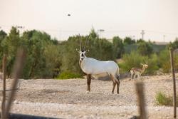 Arabian Oryx in captive natural habitat conservation program in Saudi Arabia