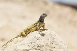 Arabian spiny tail lizard found in the desert of Bahrain