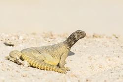 Arabian spiny tail lizard in oilfield of Bahrain.