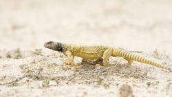 Arabian Spiny Tailed lizard - desert - Bahrain
