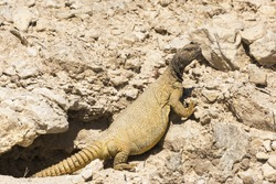 Arabian spiny tailed lizard  in Bahrain on hot summer day.