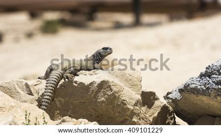 Arabian spiny tailed lizard on a rock in desert - oil field - Bahrain