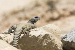 Arabian spiny tailed lizard on a rock in oil field - Bahrain