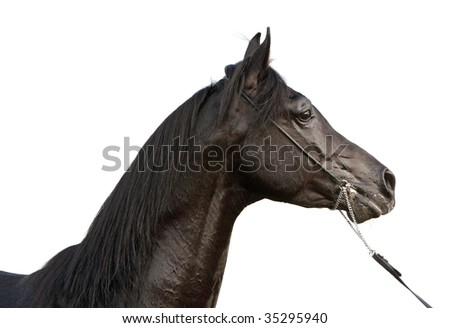 Arabian stallion on white background