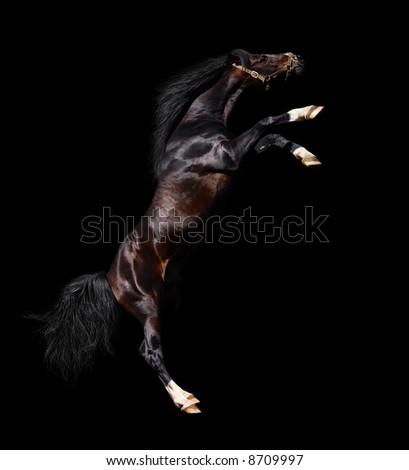 arabian stallion rears - isolated on black