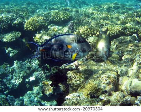 Arabian surgeonfish, Red Sea, Egypt