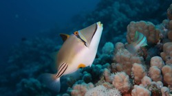 Arabian trigger fish or Picasso trigger fish swimming on his reef in the Red Sea, Egypt