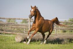 Arabian Western Horse