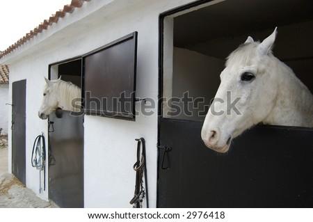 Arabian White Mustang