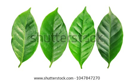 arabica coffee leaf on a white background.