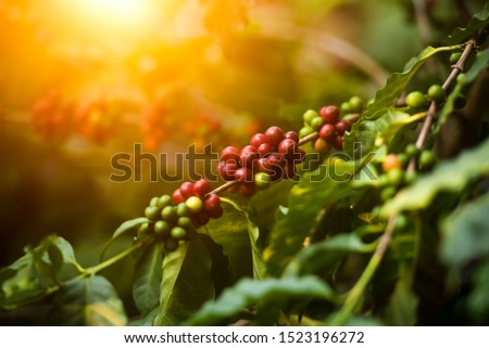 Arabicas Coffee Tree on Coffee tree, coffee beans on the coffee trees are grown in northern Vietnam.