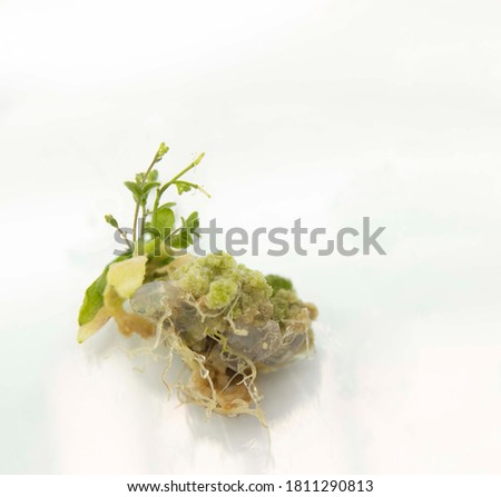 Arabidopsis (Arabidopsis thaliana, thale cress) plant regeneration from callus tissue.  Flowering arabidopsis plant regenerated from callus. ストックフォト ©