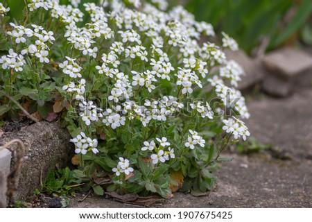 Arabis caucasica arabis mountain rock cress springtime flowering plant, causacian rockcress flowers with white petals in bloom, green leaves Foto stock ©