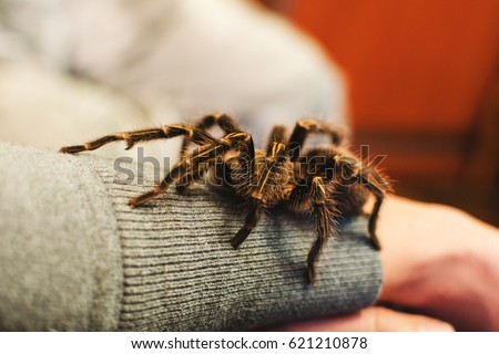 Arachnophobia, a tarantula spider climbed onto a girl's hand, a tarantula bite, a funny, beautiful, pet