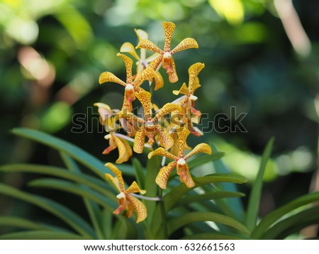 Shutterstock Aranda Panni orchids flower in the garden on green background,Arachnis, Scorpoion Orchid