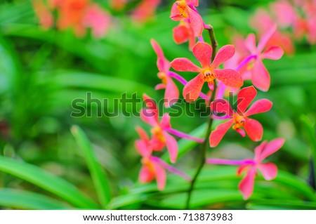 Shutterstock Aranda Sumalee orchid a cross hybrid between Aranda Christine and Vanda Memoria Choo Laikeun