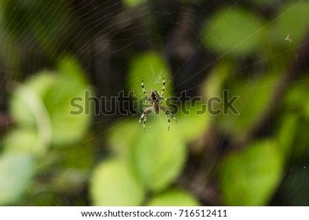 Araneus diadematus (European garden spider, diadem spider, cross spider, or crowned orb weaver), an orb-weaver spider, Honor Oak Park, London, England #716512411