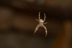 Araneus Diadematus - European Garden Spider or Cross Orb-Weaver Spider in close up with selective focus. Spider web with dew in the dark.The spider web background.