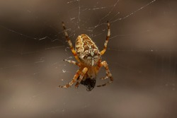 Araneus diadematus is commonly called the European garden or diadem spider, orangie, cross spider, crowned orb weaver or pumpkin spider. The spider caught and eats a fly.