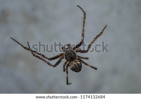 Araneus is a genus of common orb-weaving spiders. It includes about 650 species, among which are the European garden spider and the barn spider.