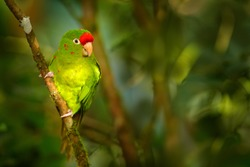 Aratinga finschi in the nature habitat, sitting on the tree branch in the tropic forest. Green bird with red cap. Beautiful green parrot Finsch's parakeet,  from Costa Rica. Wildlife in America.
