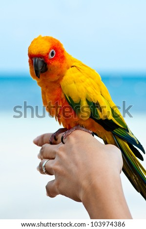 Aratinga solstitialis bird in your hand.