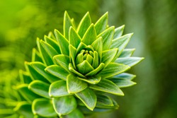 Araucaria araucana green leaves on tree, close up ( Monkey puzzle tree, monkey tail tree,  Chilean pine ) . Evergreen plant with green leafs in German park