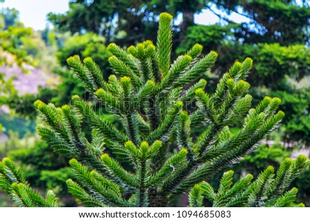 Araucaria araucana or Chilean pine - evergreen conifer tree  branch with soft needles, growing in a garden