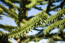 Araucaria large needle tree, araucaria close-up