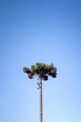 Araucaria tree and blue sky. also known as Paraná Pine, Curi, Caiová Pine, Mission Pine and São José Pine. tree easily found in, Minas Gerais, and Paraná, Brazil.