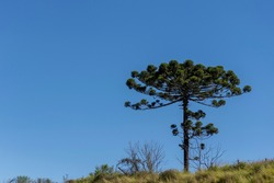 araucaria tree isolated on the hill