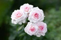 Arboretum White roses grow in the park