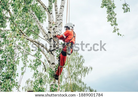 Arborist cuts branches on a tree with a chainsaw, secured with safety ropes. Stock photo ©