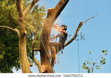 Arborist cutting tree, action shot. Chainsaw, rigging ropes, sawdust, warm sunset light and blue sky.