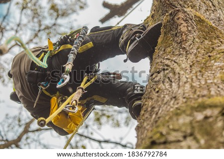 Arborist or lumberjack climbing up on a large tree using different safety and climbing tools. Arborist preparing to cut a tree, view from below. Stock photo ©