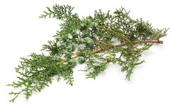 Arborvitae branch isolated on a white background.