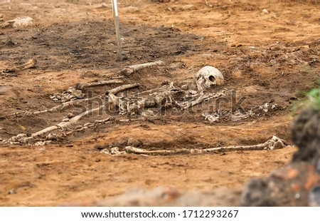 Archaeological excavations. Human remains (bones of skeleton, skulls) in the ground tomb. Real digger process. Outdoors, copy space, close up. stock photo