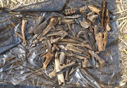 Archaeological finds extracted from the soil laid out to dry. Bones of various medieval animals found on the habitat of people in Siberia
