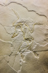 Archaeopteryx fossils in the ancient stone