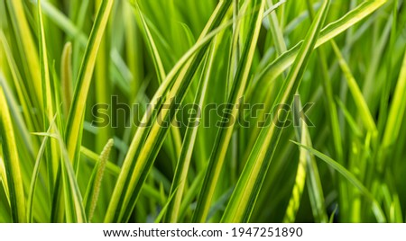 Arching Sweet flag, green and yellow striped leaves.  Photo stock ©