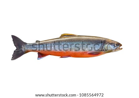 Arctic char fish isolated on white background Сток-фото ©