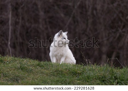 Arctic Fox #229281628