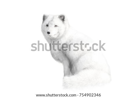 Stock Photo Arctic fox, Alopex lagopus isolated with a white background