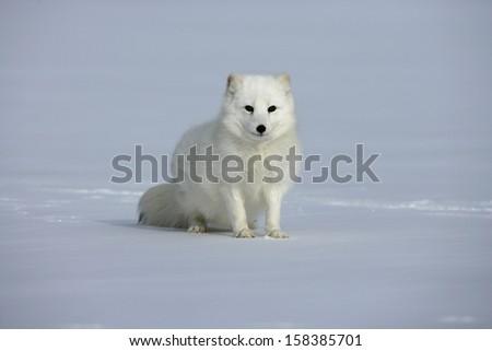 Arctic fox, Alopex lagopus, North America