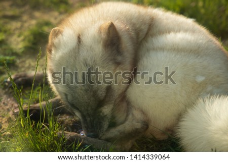 arctic fox canine fox cat #1414339064