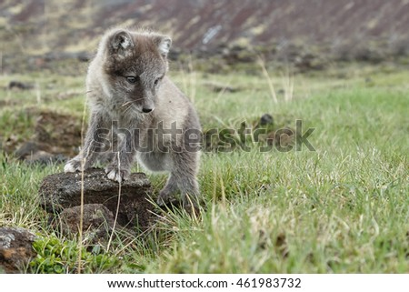 Stock Photo Arctic Fox cub of 6 weeks old in nature