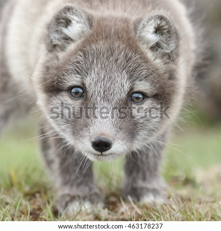 Stock Photo Arctic Fox cub portrait