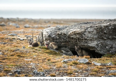 Arctic Fox cubs playing together near their den, Vulpes lagopus, in the nature rocky habitat, Svalbard, Norway, wildlife scene, action, arctic glacier in background, cute young mammals #1481700275